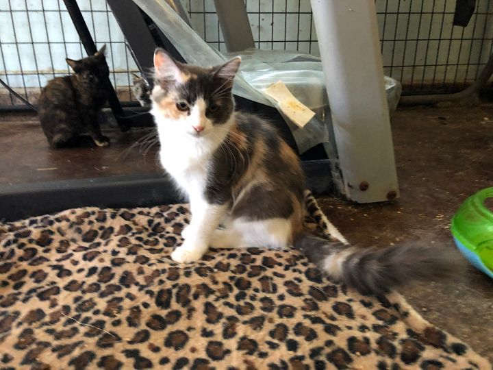 Clover, an adopted Maine Coon Mix in Mission Viejo, CA