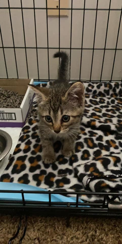 Rocky, an adopted Domestic Short Hair & Tabby Mix in Manhattan, KS