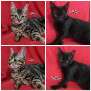 Mojo and Milo are SUPER SWEET friendly boys who like to play and love chin rubs These cuties were