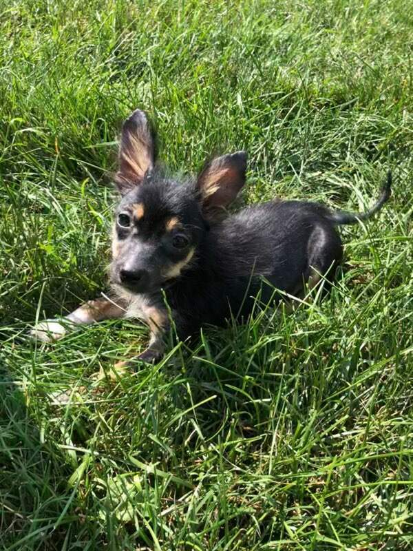 Rawlings, an adopted Yorkshire Terrier & Dachshund Mix in Hainesville, IL