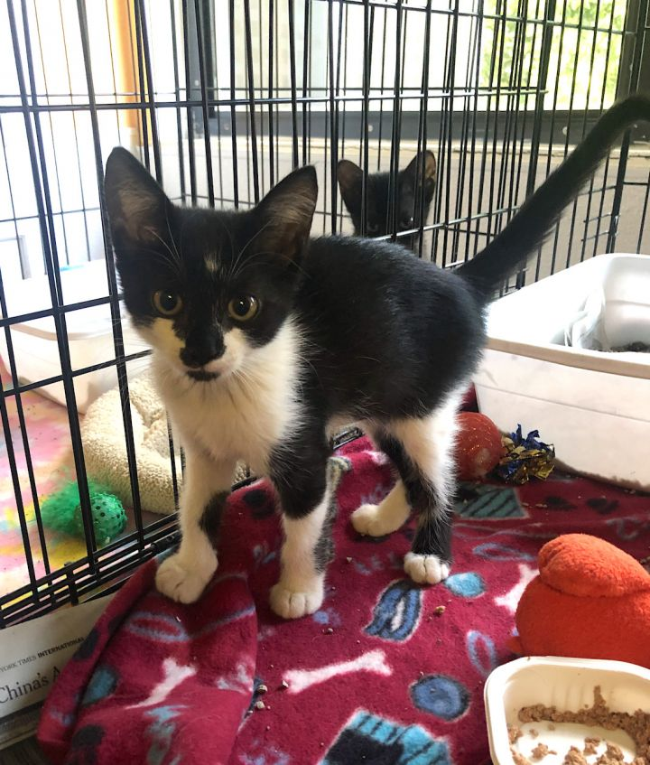 Ember, an adopted Domestic Short Hair in Boca Raton, FL