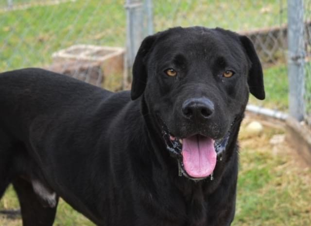 Hank, an adoptable Black Labrador Retriever Mix in Vernon, CT