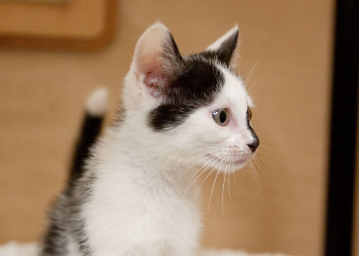 Elwood, an adoptable Domestic Short Hair Mix in Waxhaw, NC