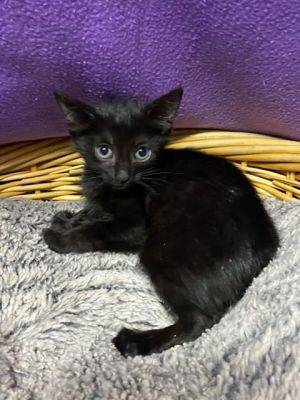 Cozie 41752 is a 8-10 week old female kitten She might be young but she is already a professional
