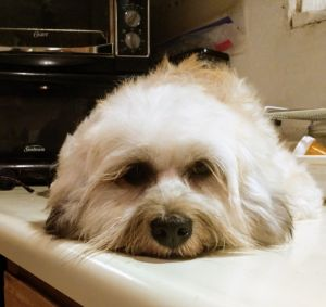 Betty is a 3 year old LhasaPoodle mix who is very active a loves to play Betty needs to be