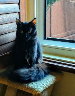GORGEOUS Sabrina Domestic-long-hair angora mix kitten born April 2020 is seeking her forever home