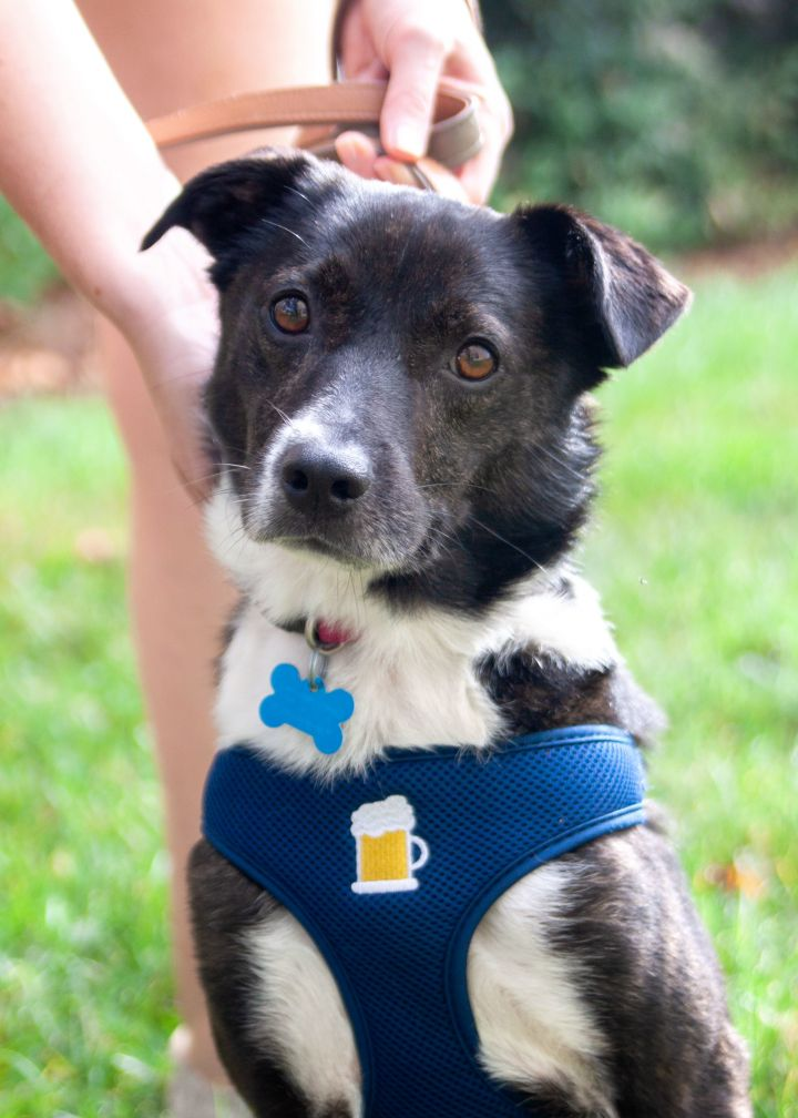 Boomer, an adopted Border Collie & Terrier Mix in Waxhaw, NC