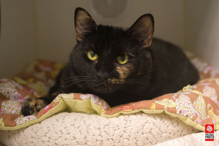 Minerva, an adopted Domestic Short Hair in Bellingham, WA
