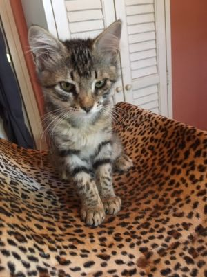 Meet Miss Jenny Adorable female tabby with special ear hairs Plays with toys and uses scratch pad