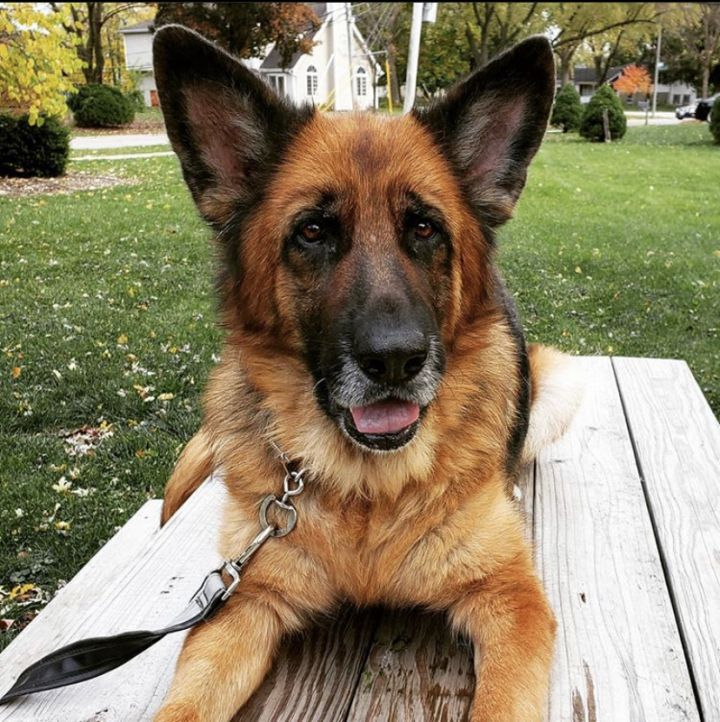 Bienne, an adoptable German Shepherd Dog in Chicago, IL