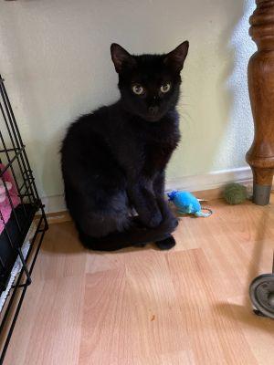 Lori Domestic Short Hair Cat