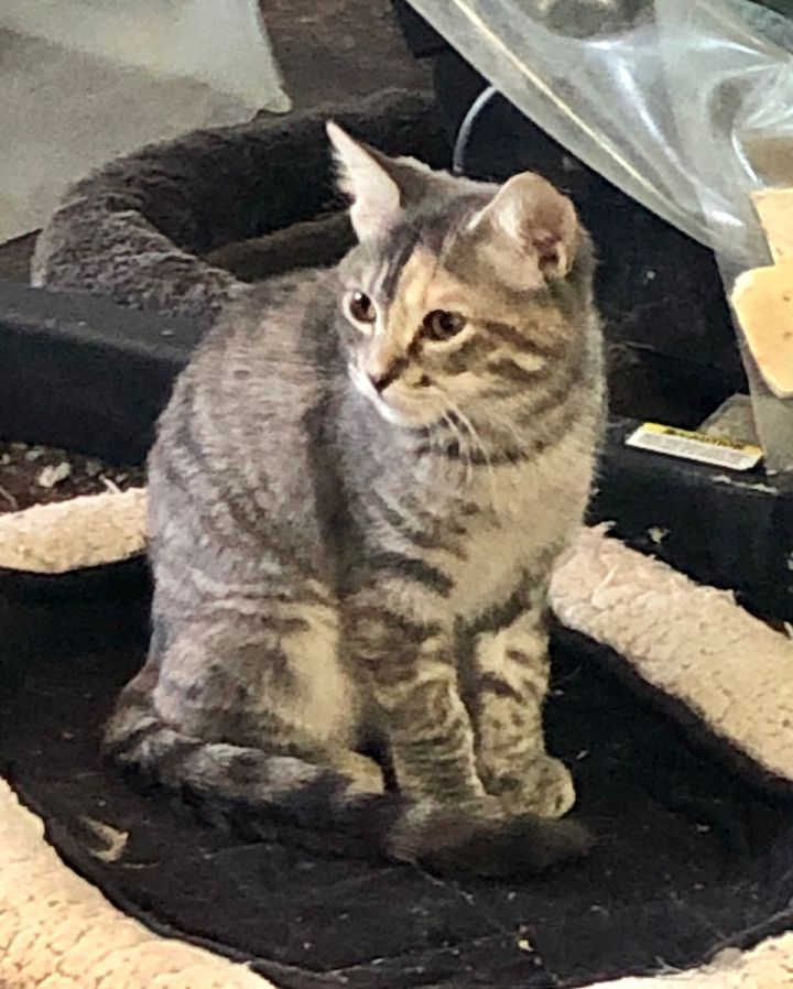 Smokey, an adoptable Domestic Short Hair & American Shorthair Mix in Mission Viejo, CA