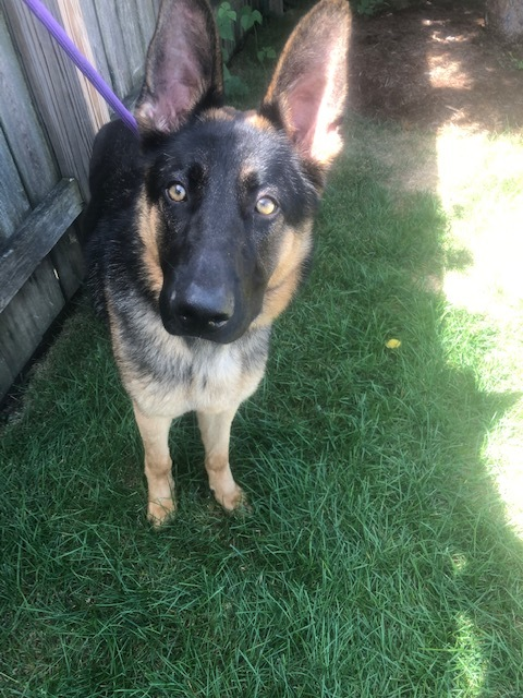 Hutchins, an adoptable Shepherd in Hainesville, IL