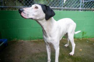 Gus Great Dane Dog