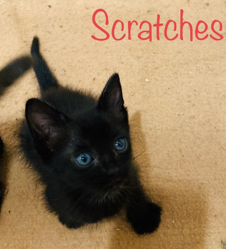 Scratches, an adopted Domestic Short Hair in Mission Viejo, CA