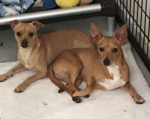 Just look at these handsome boysthis is Sampson and Woo Woo They are 1 yr old male Chihuahuas The