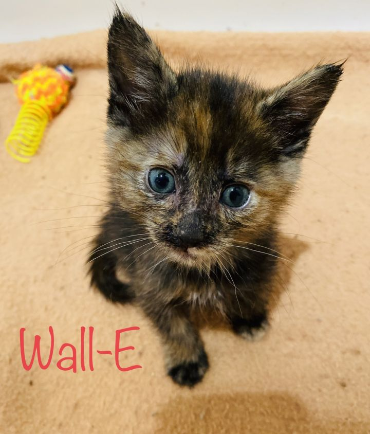 Wall-E, an adoptable Tortoiseshell & Domestic Short Hair Mix in Mission Viejo, CA