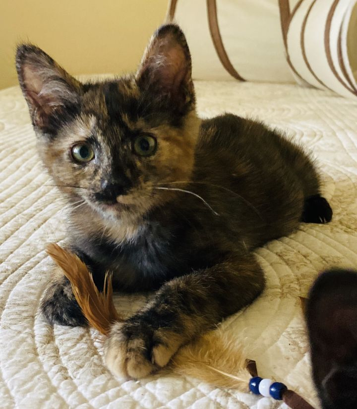 Wall-E, an adopted Tortoiseshell & Domestic Short Hair Mix in Mission Viejo, CA