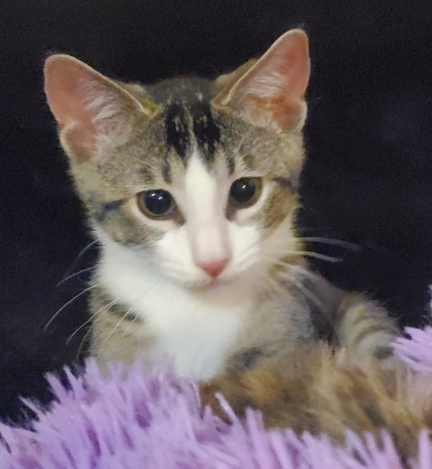 Nib, an adopted Domestic Short Hair Mix in Bolingbrook, IL