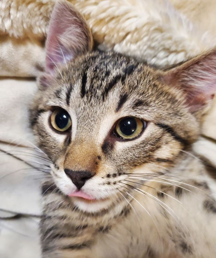 Pen, an adoptable Domestic Short Hair Mix in Bolingbrook, IL