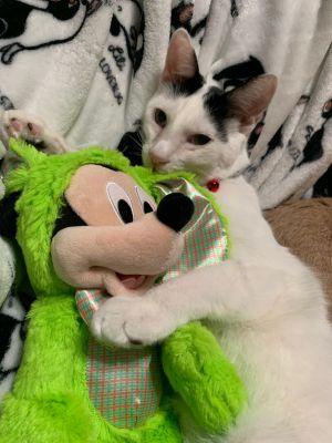 Ronin Domestic Short Hair Cat