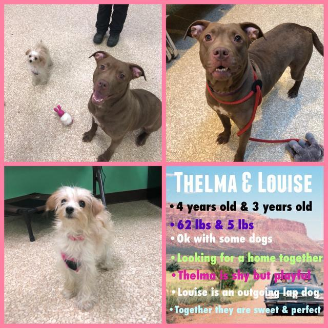 Thelma, an adoptable American Staffordshire Terrier Mix in Utica, MI