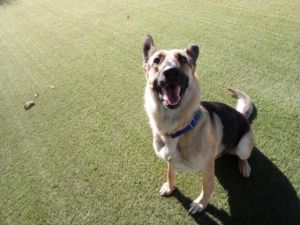 Riley is a three year old beauty who is fully trained and great with other dogs