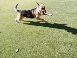 Riley Shepherd Dog