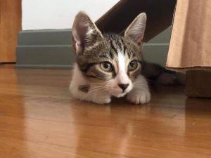 Salem Domestic Short Hair Cat