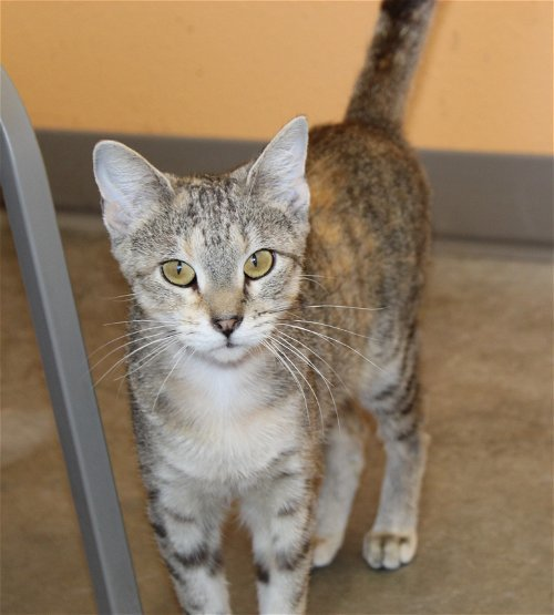 June, an adoptable Domestic Short Hair Mix in Monticello, IA