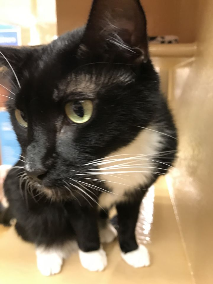 Billy, an adoptable Domestic Short Hair in Fort Lauderdale, FL