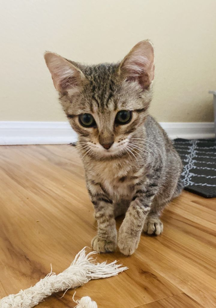 Betty, an adopted Tabby & Domestic Short Hair Mix in Mission Viejo, CA
