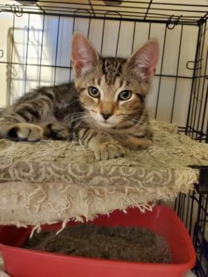Troy is a Brown Tiger with classic stripes and a handsome face His favorite toy