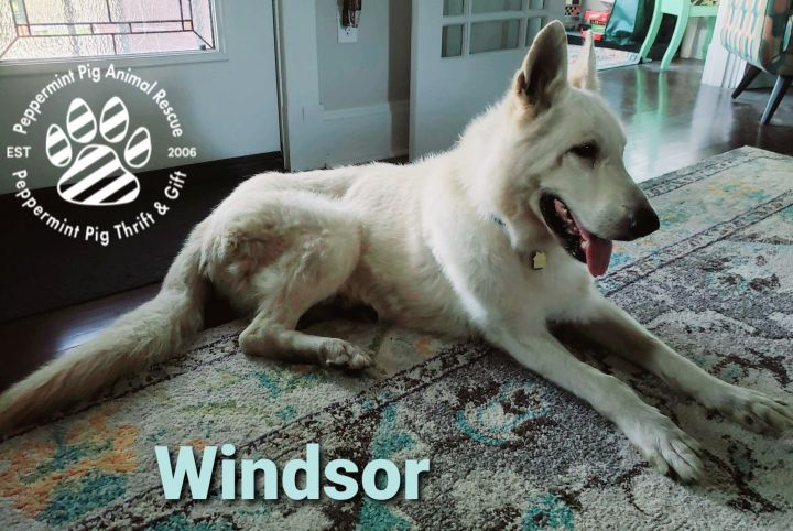 Windsor, an adoptable German Shepherd Dog in Cincinnati, OH