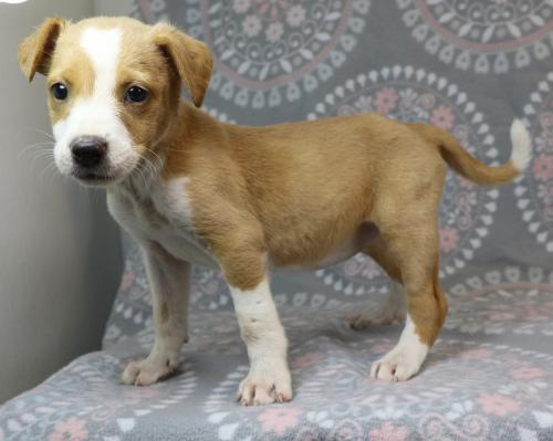 Naomi, an adoptable Harrier Mix in Morton Grove, IL