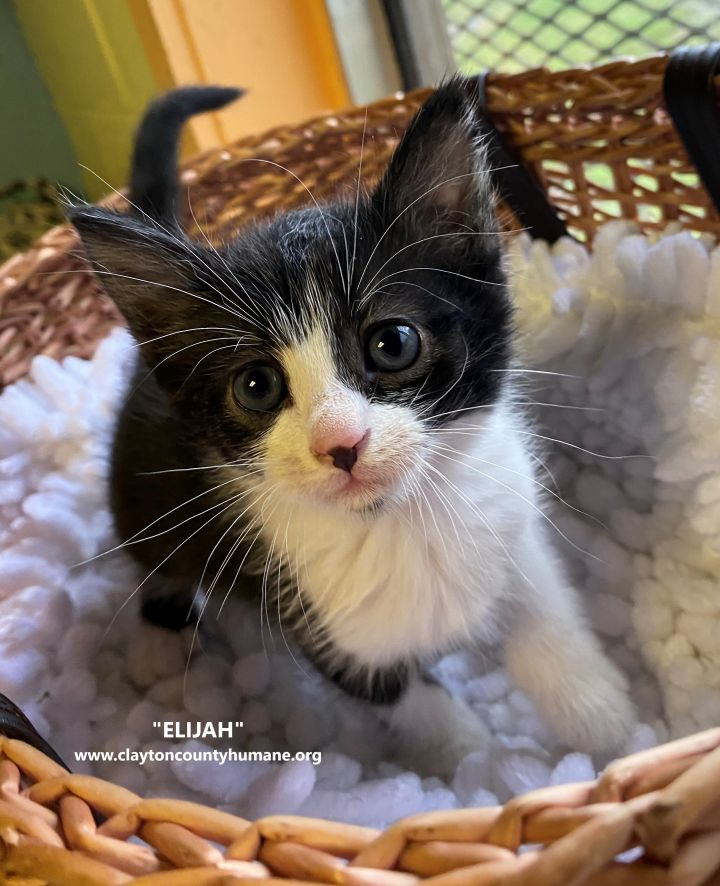 Elijah, an adopted Domestic Short Hair in Jonesboro, GA