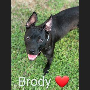 Hi My name is Brody Im a year old sweetheart I love to sunbathe I love to cuddle and sleep