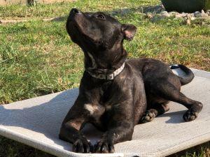 Brody Pit Bull Terrier Dog