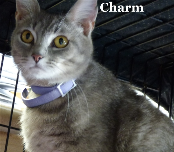 Charm, an adoptable Domestic Short Hair Mix in Louisville, KY