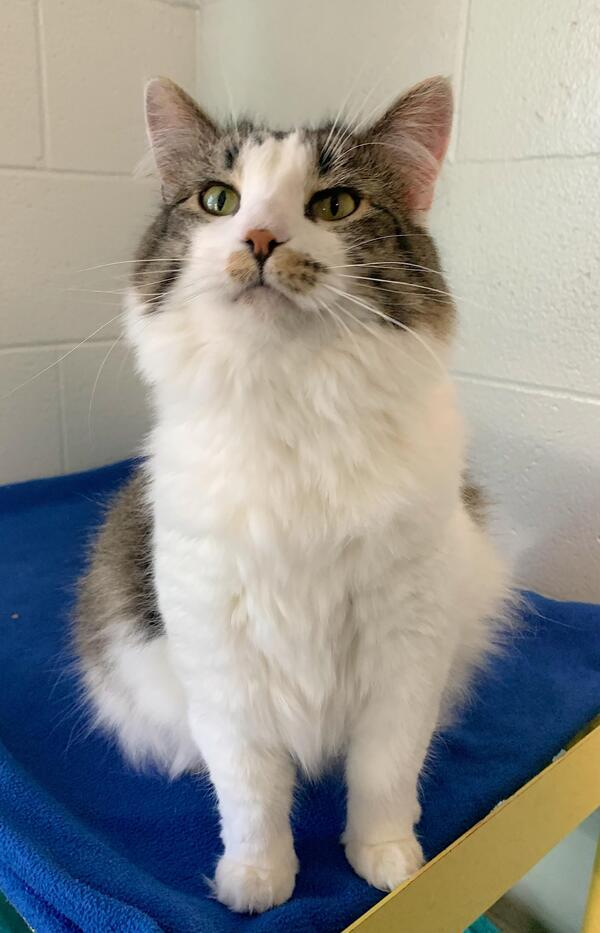 Harlow, an adoptable Domestic Medium Hair Mix in Louisville, KY