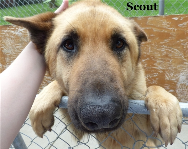 Scout, an adoptable German Shepherd Dog Mix in Louisville, KY