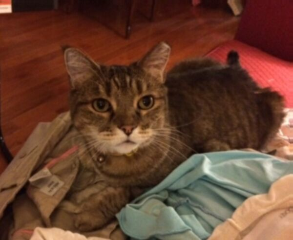 Mork, an adopted Domestic Short Hair & Tabby Mix in Reston, VA