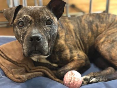 Missy, an adoptable Boxer Mix in Kentwood, MI