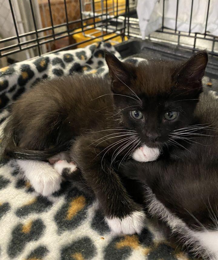 Cat For Adoption K 42 Onyx A Tuxedo In Billings Mt Petfinder