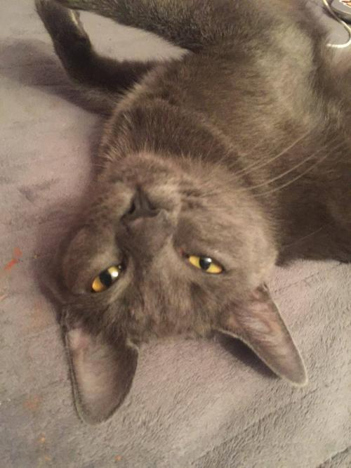 Mintie, an adoptable Domestic Short Hair in Trenton, NJ