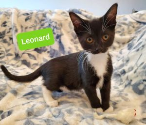 Leonard is an adorable 12-week-old male kitten looking for a loving home He is playful sweet and s