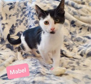 Mabel is an adorable 12-week-old female kitten looking for a loving homeShe is playful sweet and s
