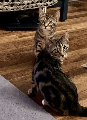 Kay  Pippa are two beautiful brown swirl tabbies with the most striking markings These sweet girls