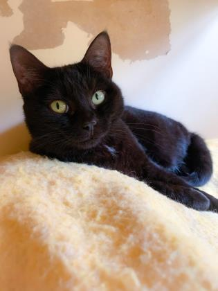 Alice, an adoptable Domestic Short Hair in Bloomsburg, PA