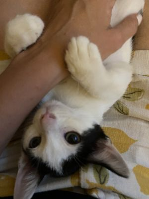 Flower is a 4 month old kitten who needs some socialization As you can see in his video he now